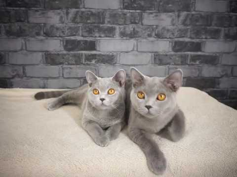 Cat Stage | british shorthair kittens for sale