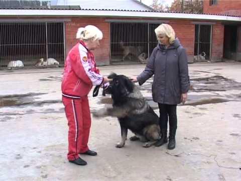 Кавказская овчарка. Болезни