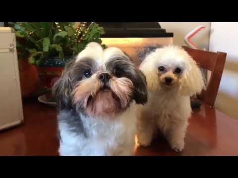 Shihtzu and Poodle so fresh and so clean