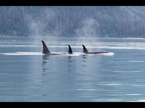 Pod of Orca Killer Whales In Cook Inlet Alaska - Whale Watching Video In Alaska