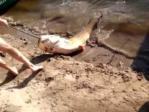 Ловля сома на Ахтубе в июле 2008 (часть 5) - YouTube