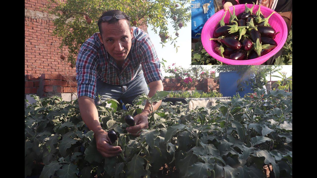 حصاد الباذنجان في الزراعة المنزلية ( الحلقة الثالثة ) Eggplant harvest