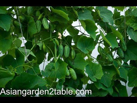 How To Grow Tindora / Ivy Gourd
