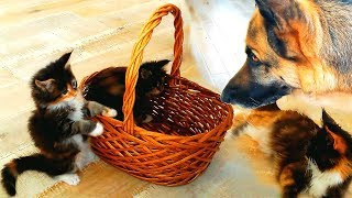 Maine Coon Mom Cat Watching Her Kittens Cared After By A Huge German Shepherd Dog