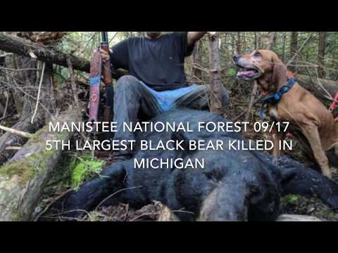 Record Michigan Black Bear Killed with Hounds in Manistee