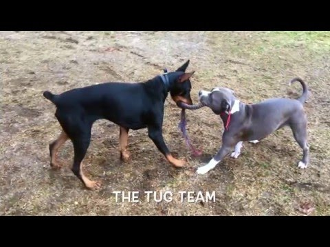 Long Island Dog Trainer: Doberman with Amazing Obedience: Best Doberman Dog Trainers in NY
