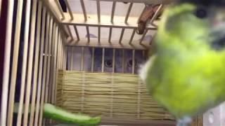 Птица Чиж. Eurasian Siskin