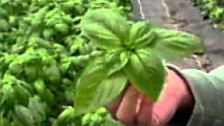 Tips on how to harvest fresh organic basil - Green Earth Organics