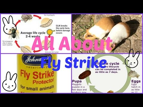What is Fly Strike and How To Prevent It | Furry Friends