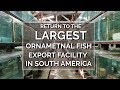Into the Amazon - Return to the Largest Ornamental Fish Export Facility in South America - Episode 3