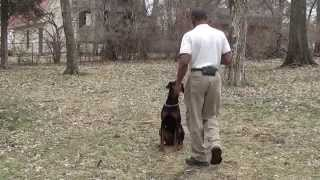 Guy Nashville Dog Trainer 094: Training A Doberman Pinscher Puppy