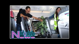 Koala gets VIP treatment on flight to a new home in Scotland