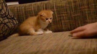 Рыжий вислоухий котик