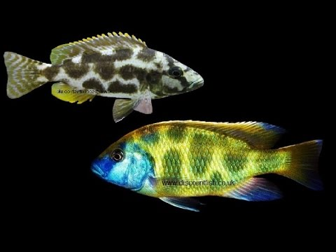 Livingstoni And Venustus Cichlids - Tropical Freshwater Fish For Sale