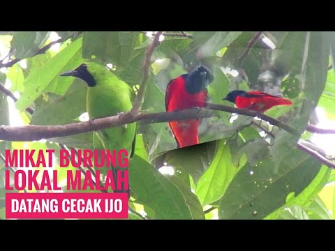 Download Mikat burung cabe-cabean