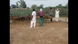 emu in punjab,09815330070, The Nest Emu Farms and Hatcheries  muktsar bathinda emu in punjab india