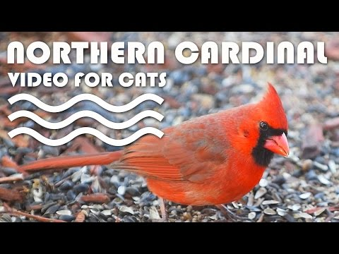 ENTERTAINMENT VIDEO FOR CATS. Birds for Cats to Watch - Northern Cardinal.