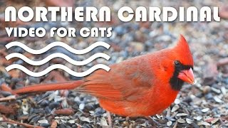 Entertainment Video For Cats. Northern Cardinal For Cats To Watch.