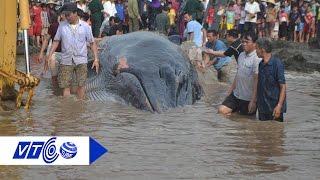 Giải cứu cá voi 15 tấn mắc cạn ở biển Nghệ An | VTC
