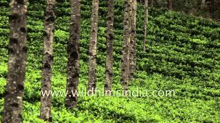 Munnar, South India's largest tea-growing region