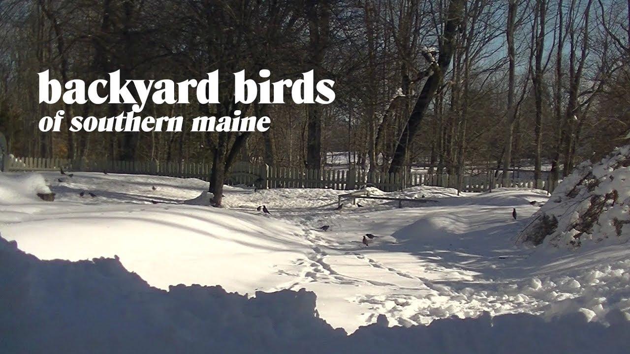 Backyard Birds Of Southern Maine Thomas Johnson Antique Furniture Restoration