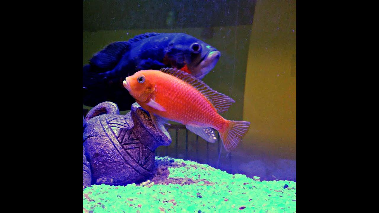 Hanging Aquarium (GoPro Hero4 Silver) Camera Low Light Video Spacearium  Cichlid Fish Tank