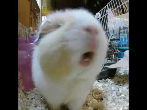 Screaming Guinea Pig Youtube