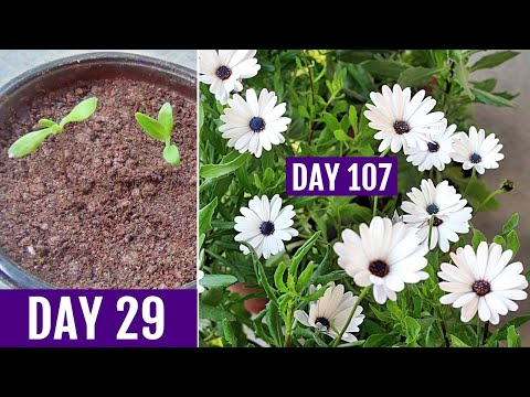 How to GROW Dimorphotheca/African DAISY From Seed
