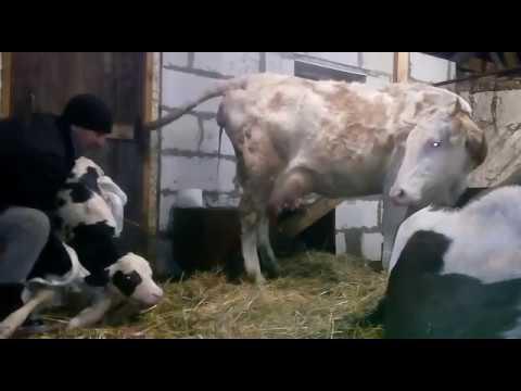 Отёл коровы)) первый раз принял роды, новая жизнь, рождение теленка,