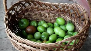 Сбор и дозаривание томатов