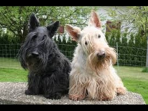 Scottish Terrier (Scottie) - Dog Breed
