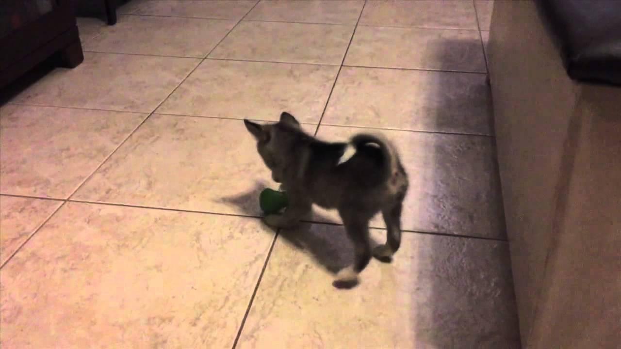 mini husky puppy kolu