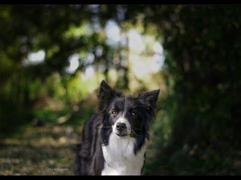 Amazing Dog Tricks by Border Collie Lindsey