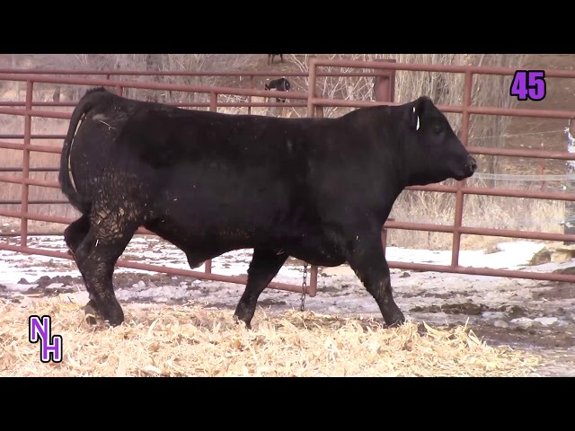 New Haven Angus Lot 45