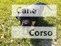 Cane Corso Nera 1.5 months
