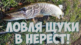 Рыбалка на Щуку в Нерест Вечерний выход Хищника Мартовская Щука