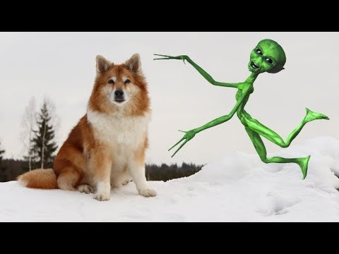 Abducted by Aliens - part 1/2 | Hötti the Icelandic Sheepdog