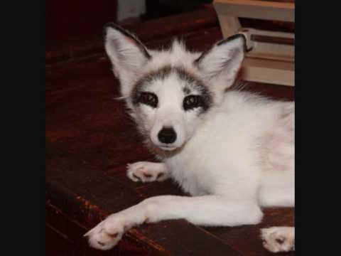 galileo the arctic marble fox rescue youtube