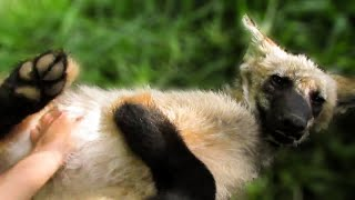 Adorable Maned Wolf pup loooves a scratch