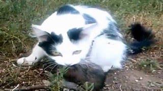 Кошка дерется с огромной крысой ! Часть 1