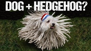Top 10 Most WEIRD Dog Breeds