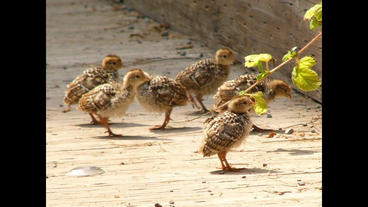 Quail Chicks Room | Quail Baby - YouTube