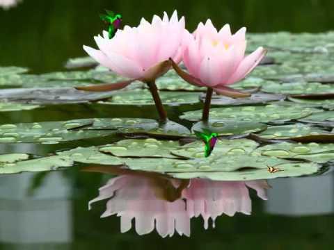Peaceful Lotus Flower In The Water Screensaver Httpwww