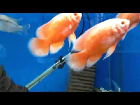 Аквариумная рыбка - Астронотус!