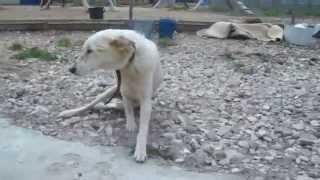Стрелка. Собака после автокатастрофы пытается вернуться к нормальной жизни.