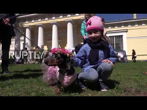 Russia: Dachshunds dress up as sailors to celebrate anniversary of St. Petersburg