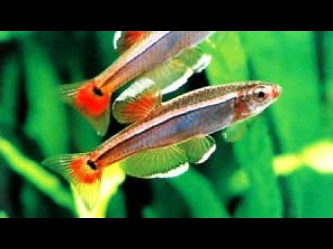 Top best types of tetra fish youtube for Types of tetra fish