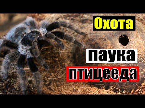Что ест паук-птицеед? Как охотится птицеед. Пища птицееда