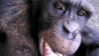 平成16年12月8日撮影(茶臼山動物園チンパンジー舎)。 チンパンジーの...