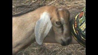 Зааненская и нубийская породы коз. Урожайные грядки.